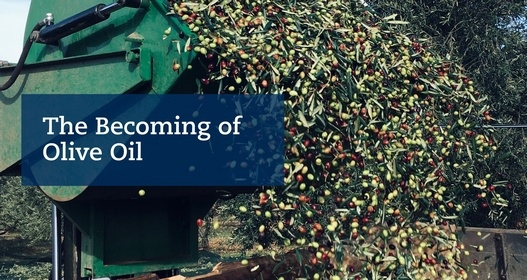 The Becoming of Olive Oil